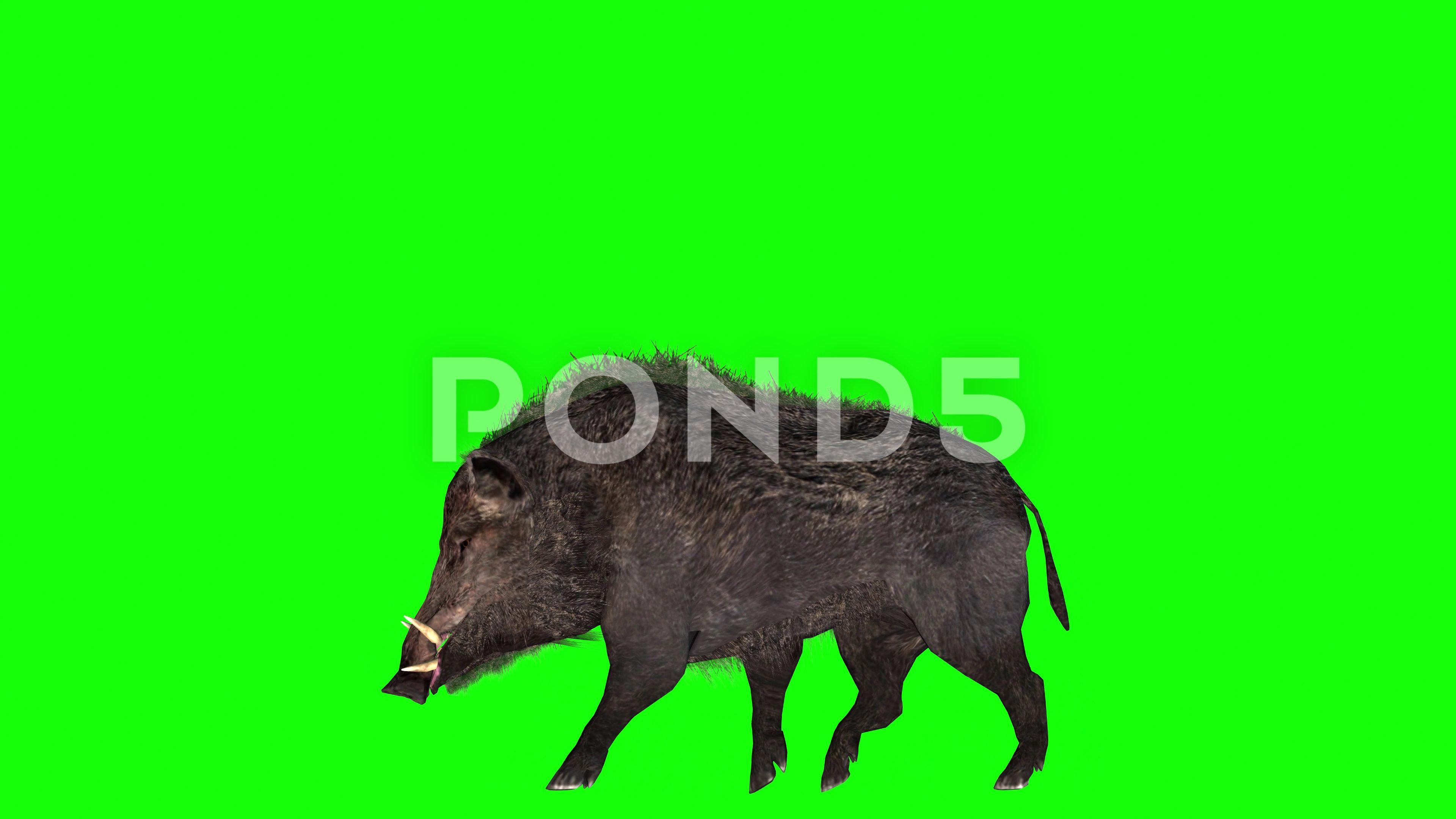 Animation of a wild boar on green screen AD ,boarwild