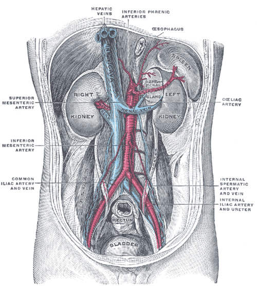 Posterior abdominal wall after removal of the peritoneum posterior abdominal wall after removal of the peritoneum ccuart Images