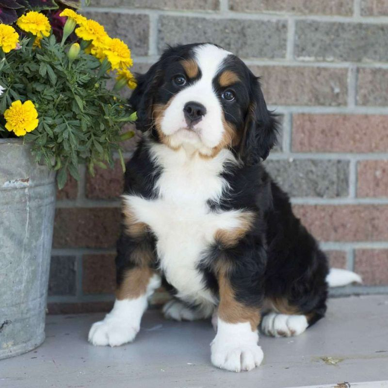 Miniature Bernese Mountain Dog Puppies For Sale Greenfield Puppies In 2020 Miniature Bernese Mountain Dog Bernese Mountain Dog Puppy Bernese Mountain Dog