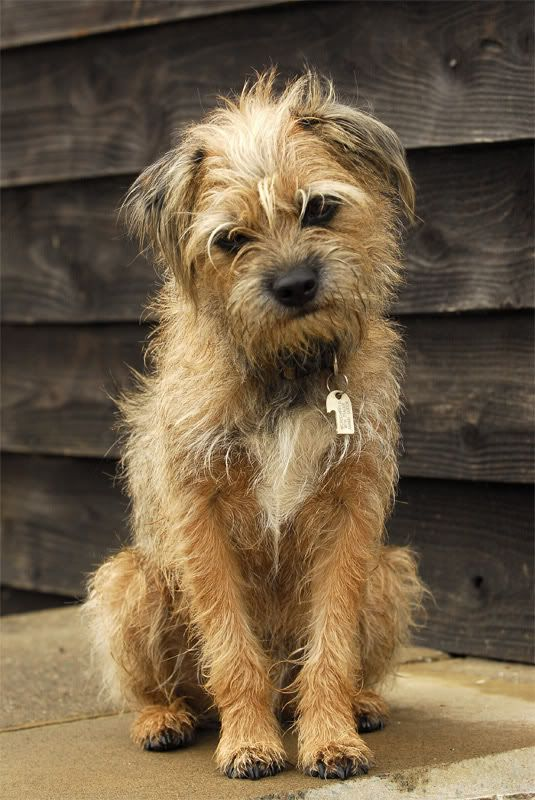 One Of My Border Terrier Border Terrier Puppy Border Terrier