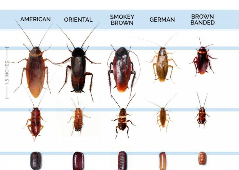 All Types Bugs That Look Like Roaches Roach Infestation Palmetto Bugs Roaches
