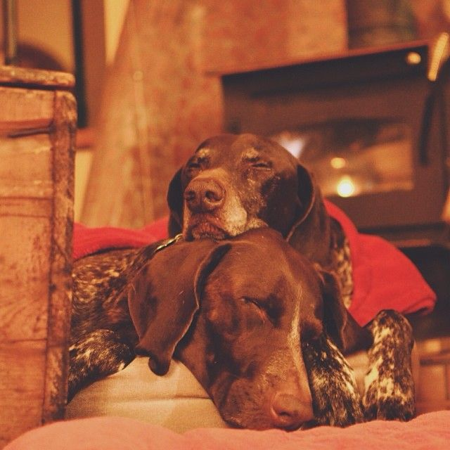 Fireside Cuddles Thepointerbrothers Ifitwags Deutsch Kurzhaar Hunde Jagdhund