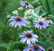Does Anyone Know Where I Can Find Blue Coneflowers Echinacea Garden Yard Ideas Wild Flowers