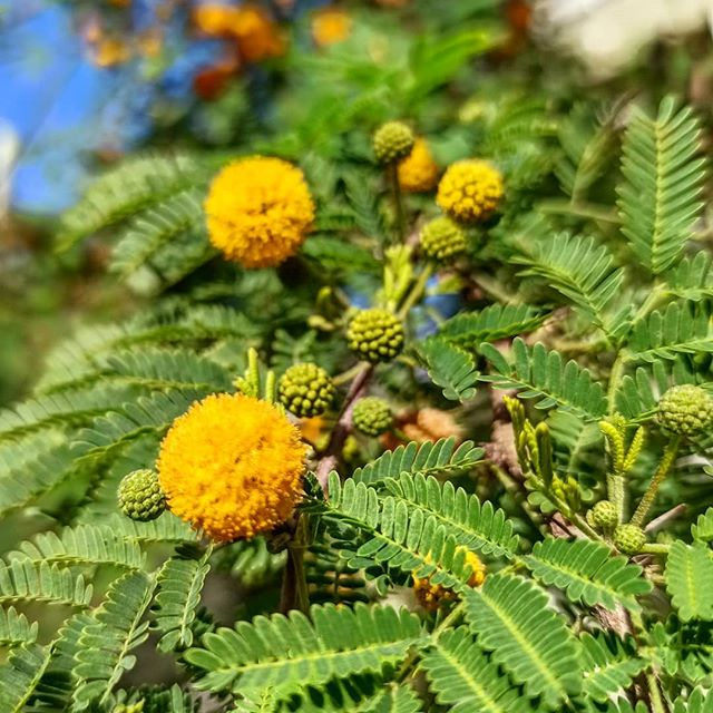 Flow On Instagram Acacia Farnesiana Known As Gazia In Greek So Many Uses For This Plant The Flowers Are Used In Perfum In 2020 Plants Plant Dyes Earth Pigments