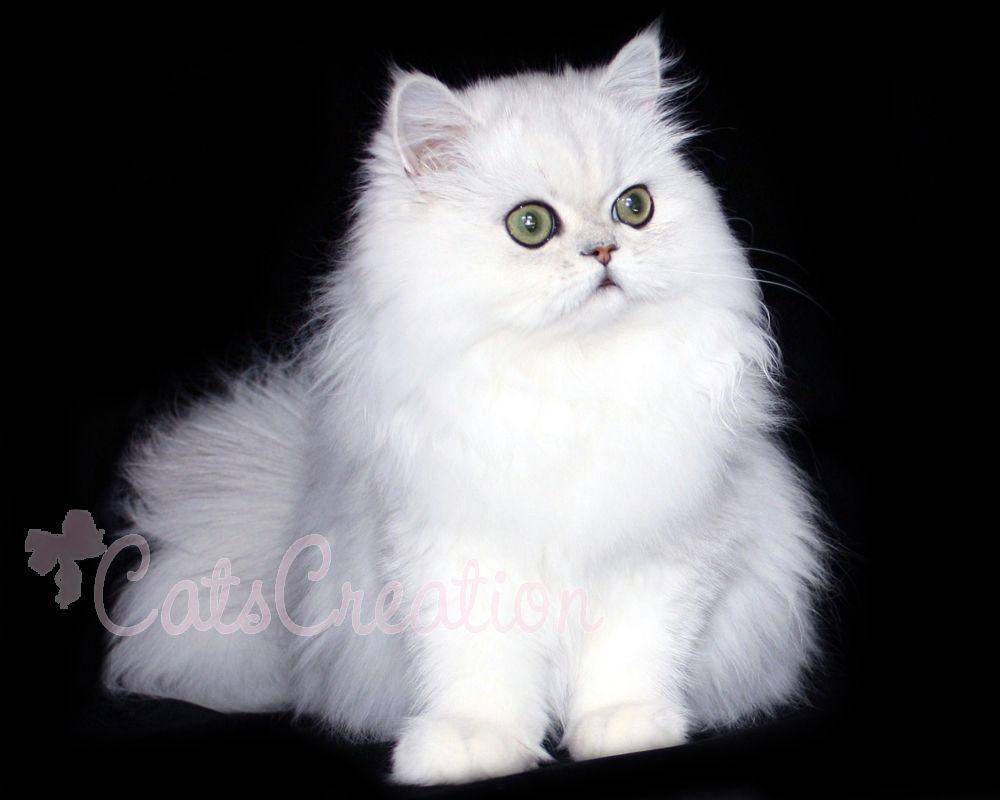 CatsCreation Gabriella Chinchilla Silver Persian Cat a