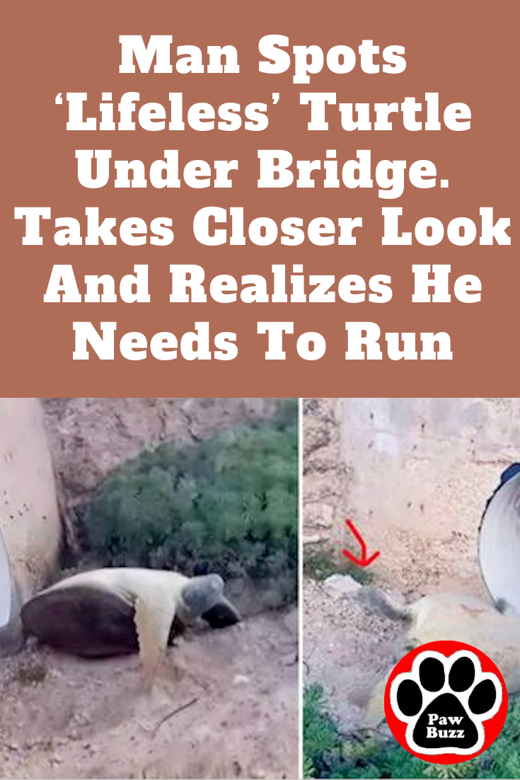 man spots 'lifeless' turtle under bridge. takes closer look and