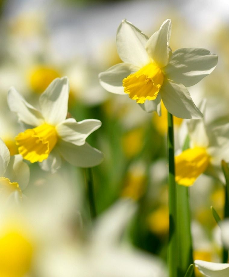Narcissus Topolino Dainty Topolino Meaning Little Mouse In Italian Is Sturdy Beautiful And Deliciously Fragrant This Early Narcissus Bulb Flowers Daffodils