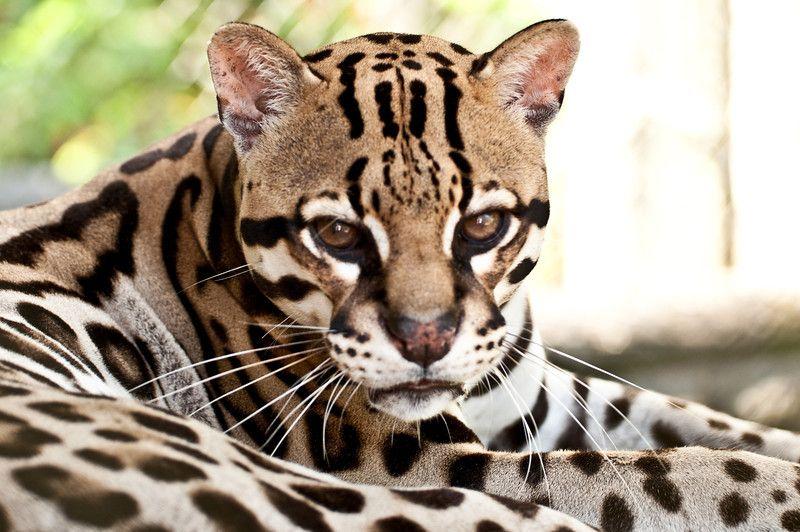 ocelot - Zoo Ave | Villa San Ignacio | Hotel Near San Jose And Alajuela | Costa Rica