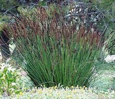 Image result for chondropetalum elephantinum landscaping for Hearty ornamental grasses