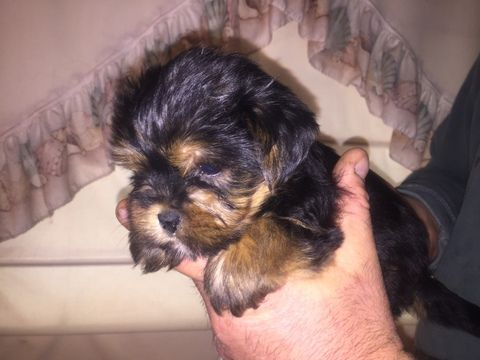 Litter of 9 Morkie puppies for sale in HADDAM, CT. ADN