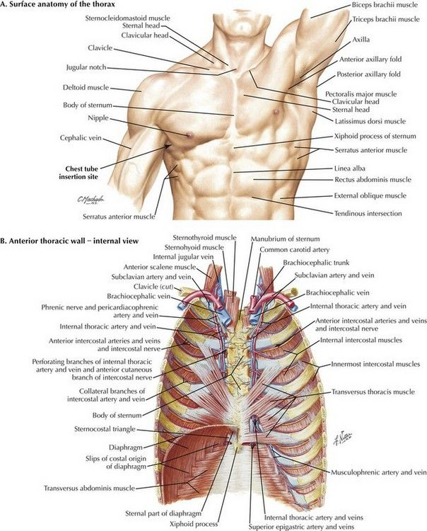 Thorax External Anatomical Landmark And Internal Organs Anatomy