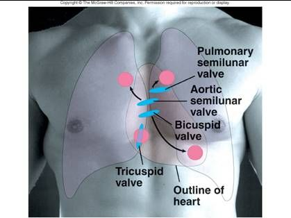 heart valve anatomical location - Google Search | medical ...