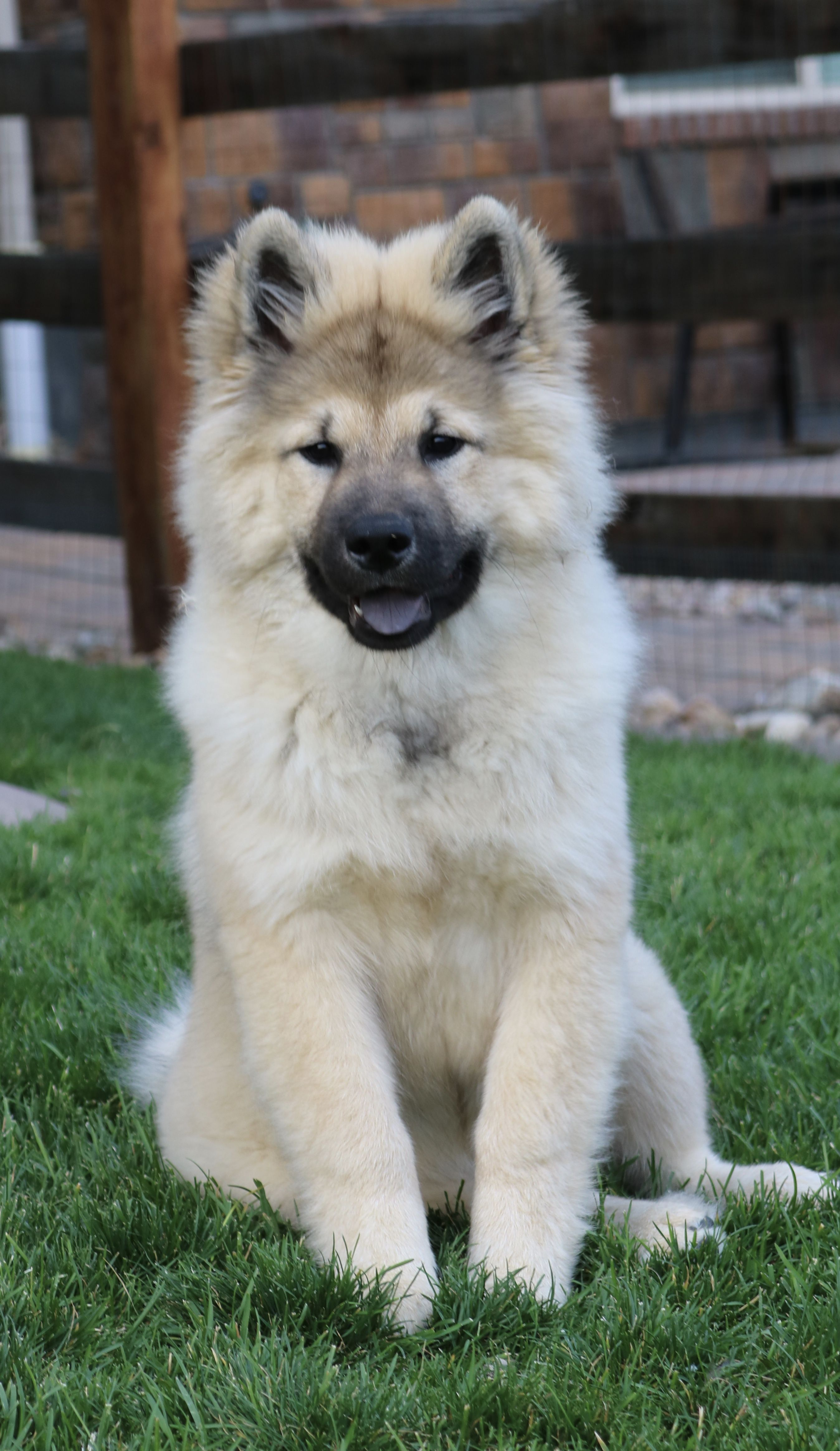 Pin By Heather Carmosino On Eurasier Dogs Dogs Animals And Pets Cute Animals