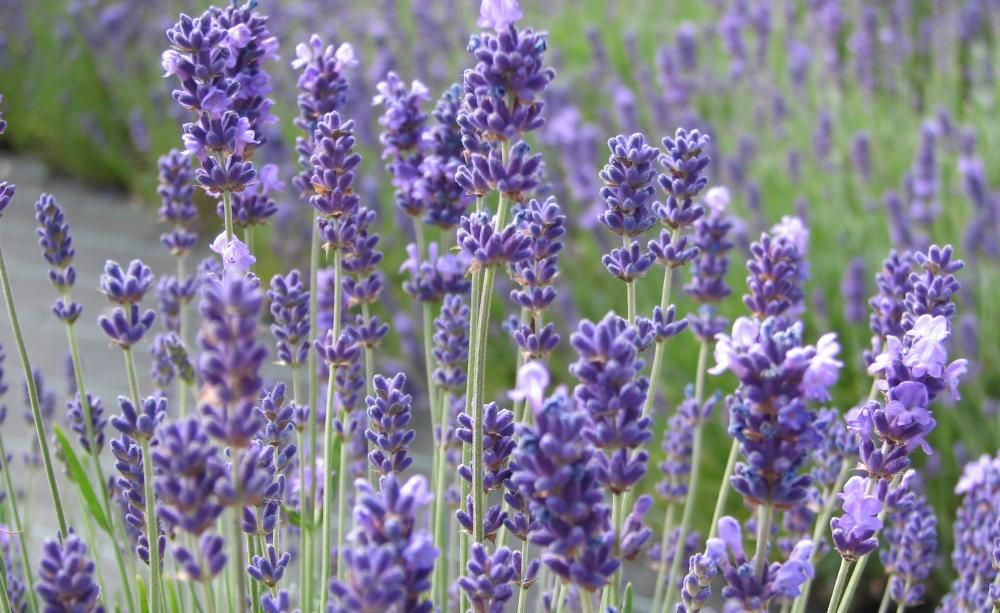 Lavendel Durch Stecklinge Vermehren Gartenideen Garden Flowers