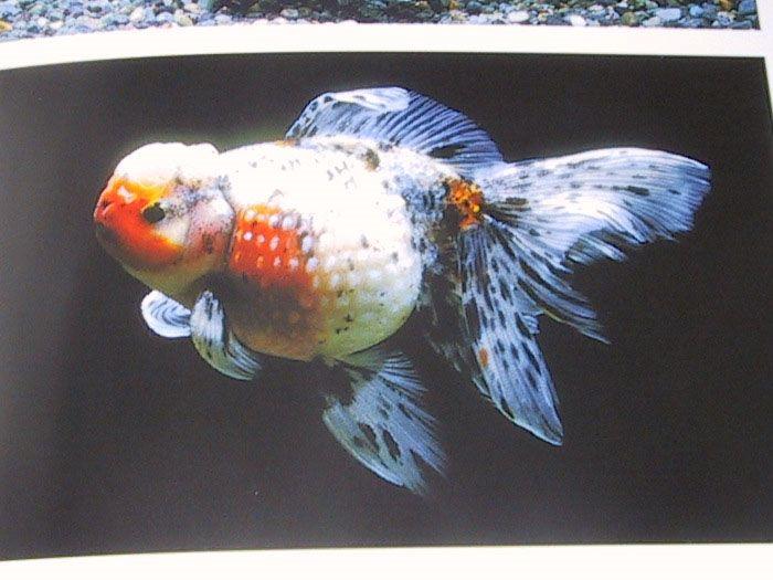 Fancy Goldfish Book