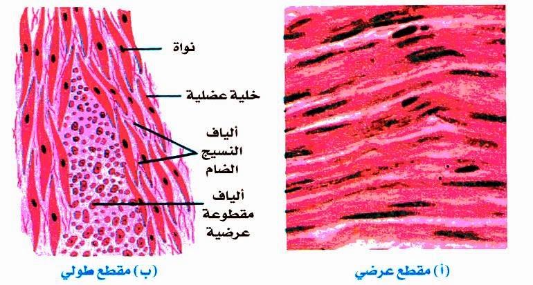 الانسجة العضلية Science Tissue Muscular