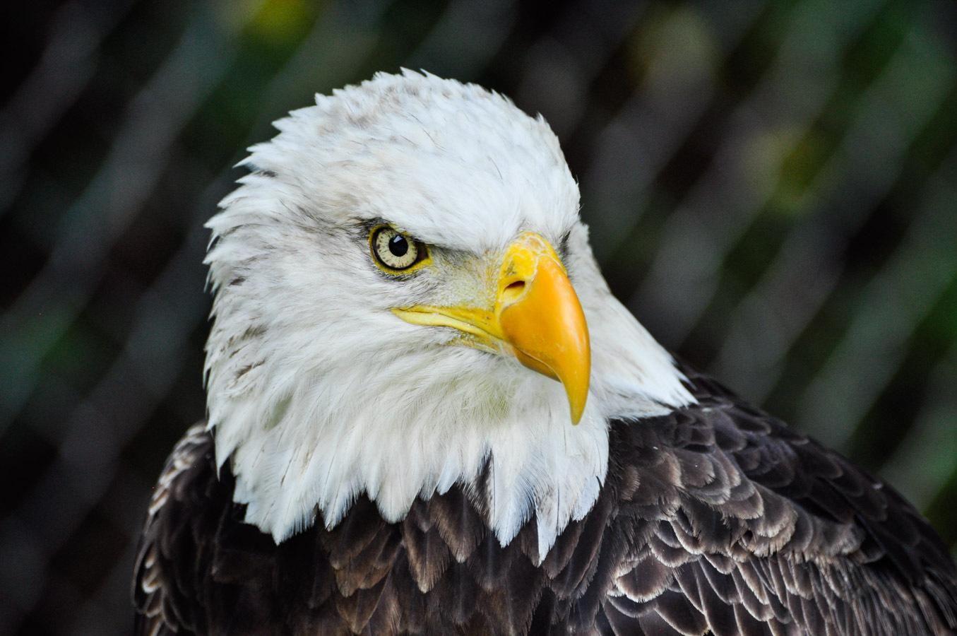 - Eagle Bald Eagle, Eagle