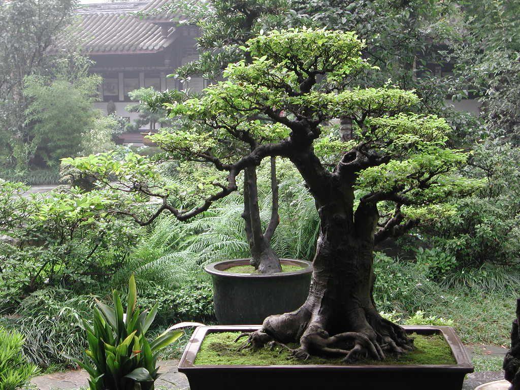 Alberi Nani Da Giardino chinese bonsai   bonsai, alberi in vaso e piante bonsai