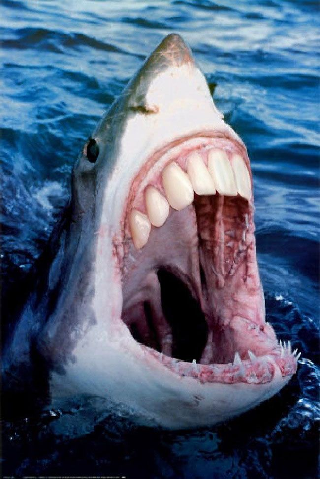 Image of: Pacu Fish Sharks With Human Teeth Pet Health Network Sharks With Human Teeth Whoo Pinterest Great White Shark