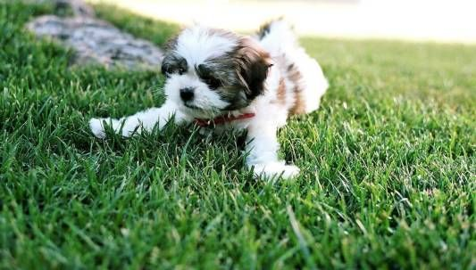 What Is The Lifespan Of A Maltese Shih Tzu Malshi Dog News