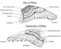 eagle wing diagram electric dryer wiring of wings great installation feather structure google search birds drawings rh pinterest com s bones anatomy