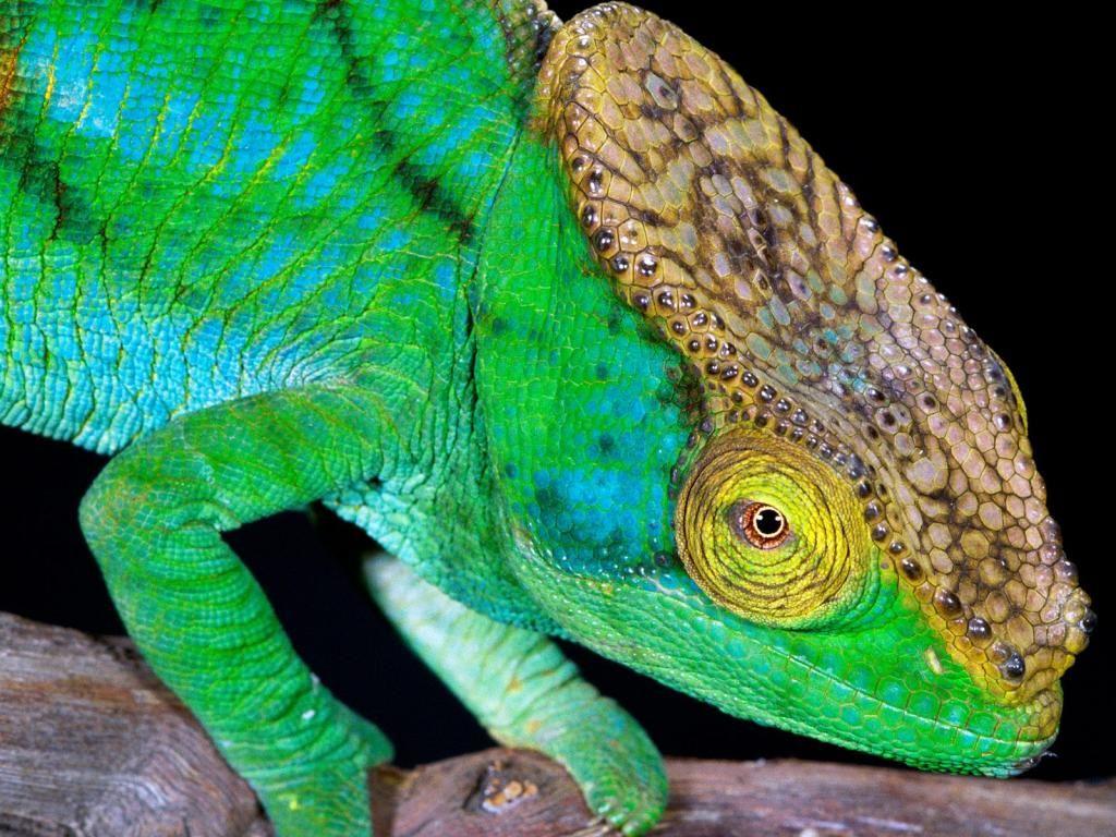 Рептилии - картинки на телефон: http://wallpapic.ru/animals/reptiles/wallpaper-32970