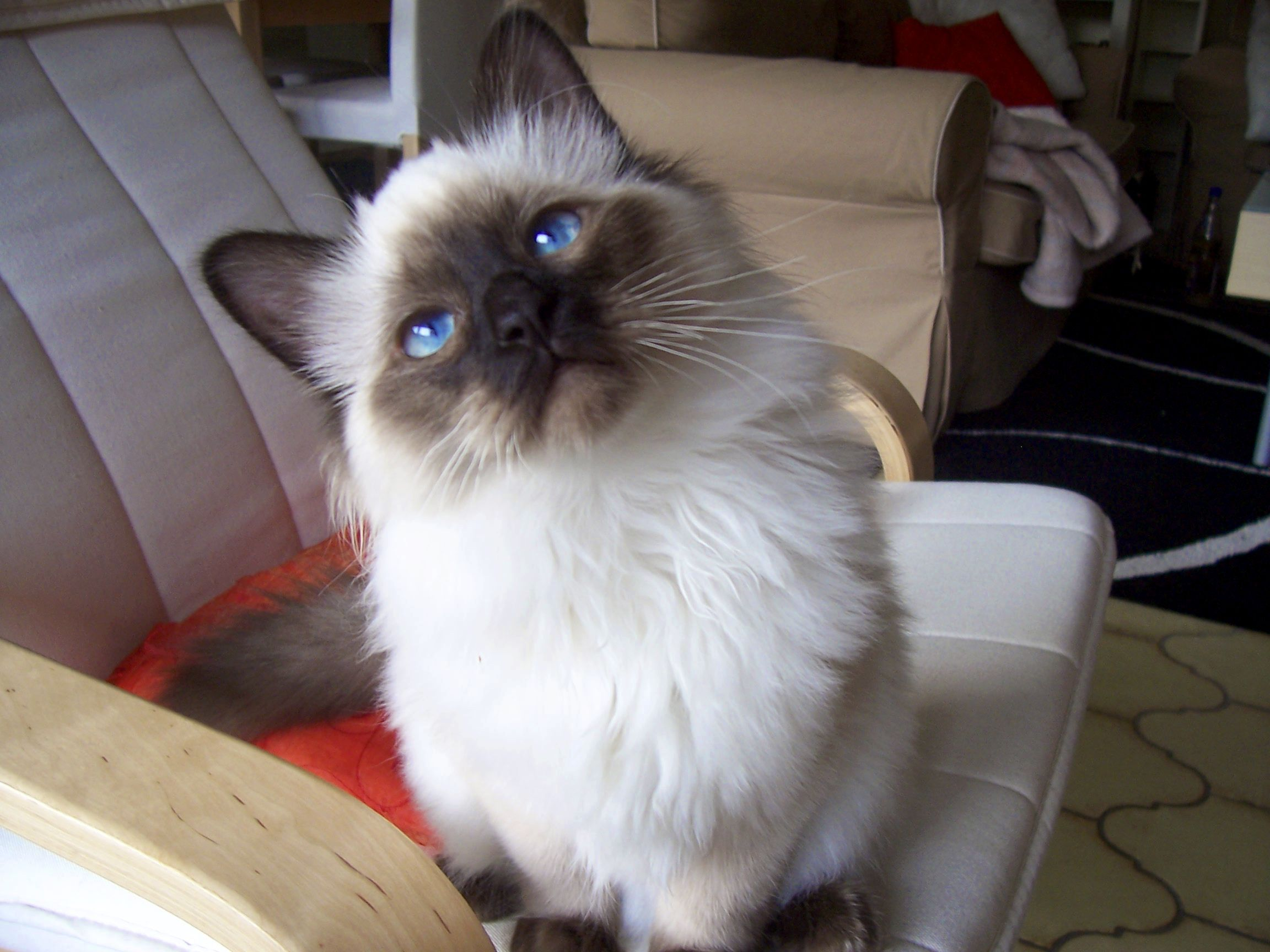 "Birman kitten seal point Cat breeds. (""What?"") 