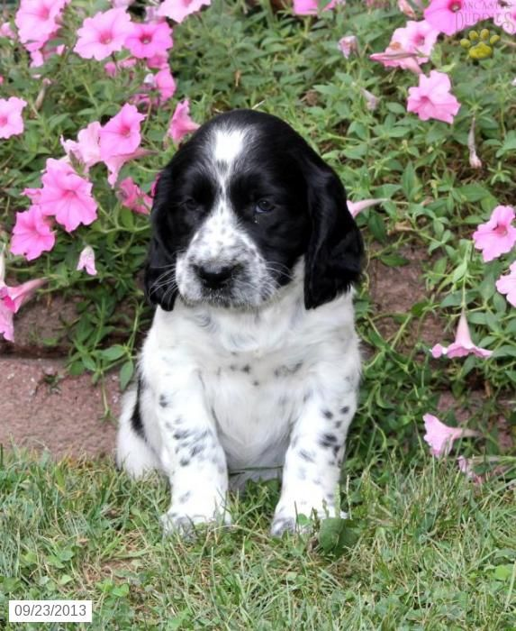 english springer spaniel males pictures   - English Springer Spaniel Puppy for Sale in Millmont, PA - English ...