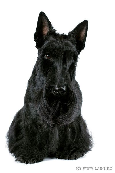 baby scottish terrier scottish beautiful scottie baby jc scottish terriers 2940
