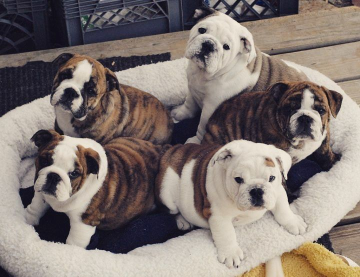 The English Bulldogs On Dog Friends Bulldog Puppies Pets