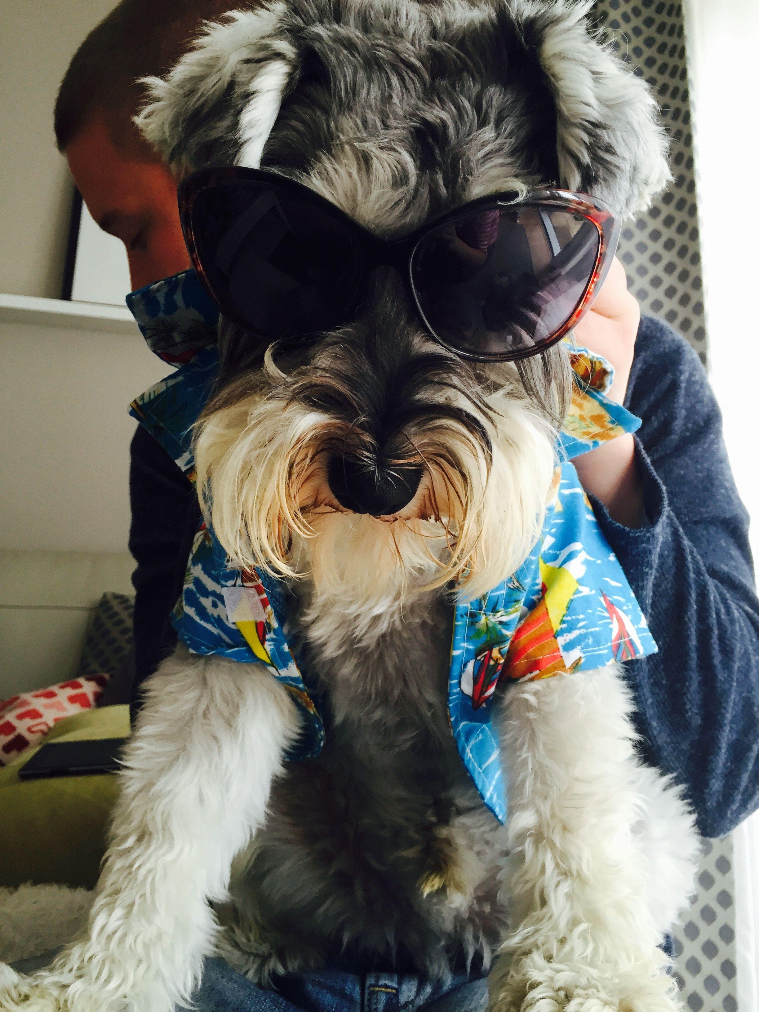 Django Schnauzer Best Dogs Dogs Schnauzer