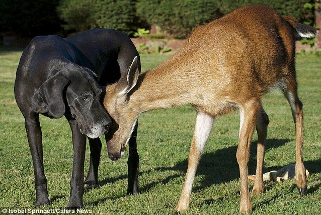 Touchy Feely Pippin The Deer And Kate The Dog Are Very Comfortable Being Around Each Other