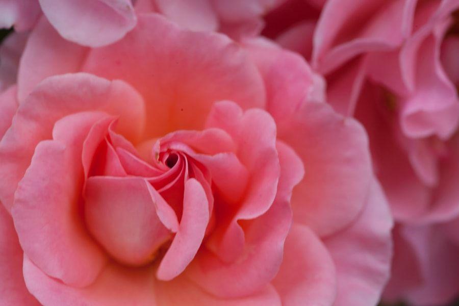 Pink Rose by Karen Ulvestad