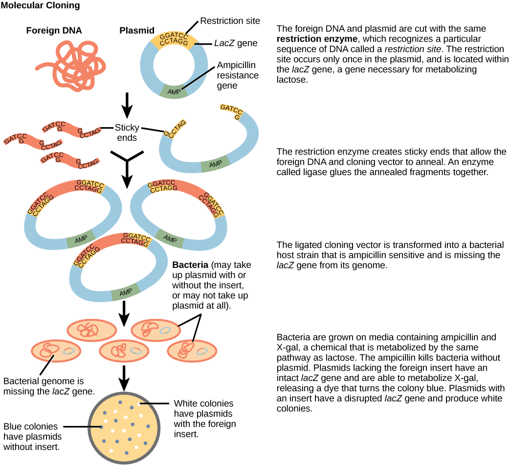 dna recombination Khan academy is a nonprofit with the mission of providing a free,  dna cloning and recombinant dna  a huge amount of genetic recombination occurs.