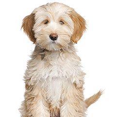 Tibetan Terrier. Wonder if its name is Buffy? Terrier