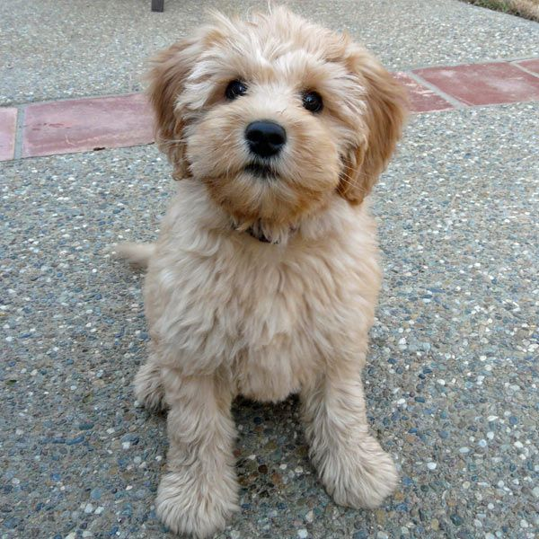 Pin By Jennifer Dueker On How Much Is That Doggie In The Window Goldendoodle Labradoodle Puppies And Kitties