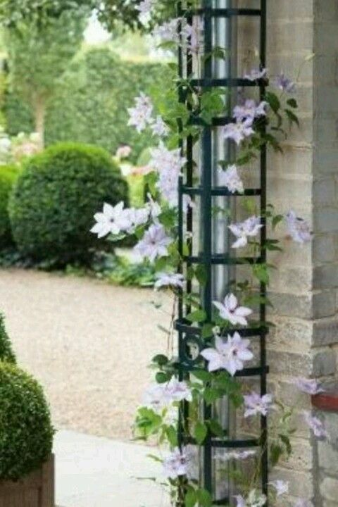 hide downspouts with climbing vine on a trellis outside pinterest gardens. Black Bedroom Furniture Sets. Home Design Ideas