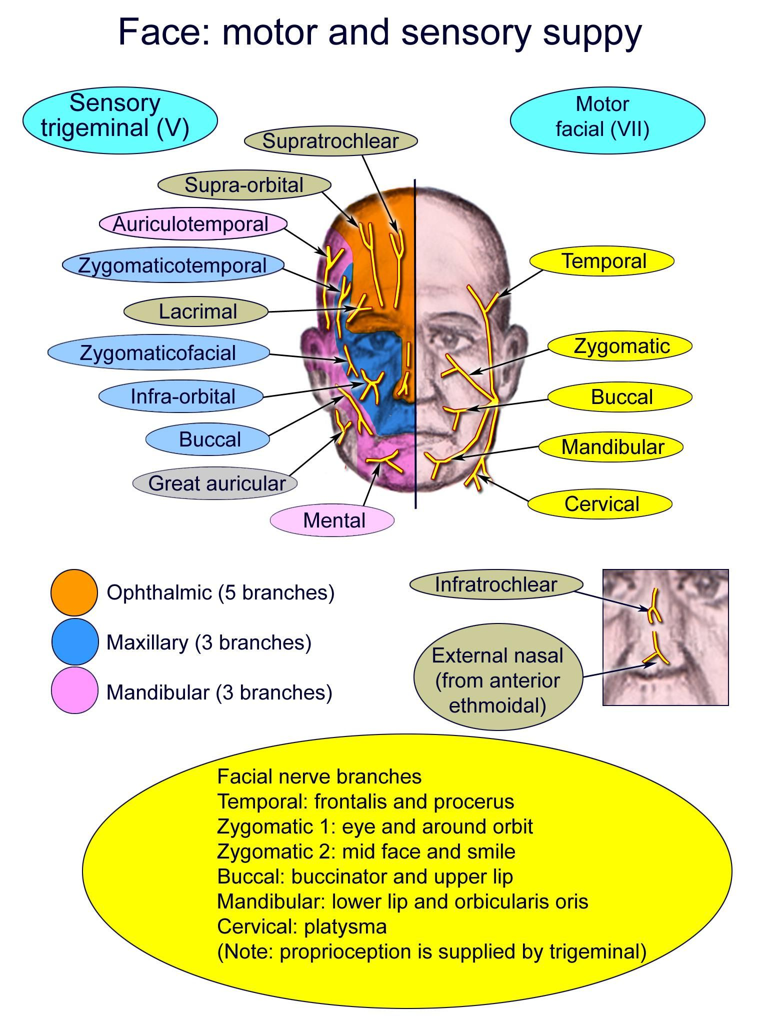 Diagram of the motor and sensory supply of face. | Dentistry ...