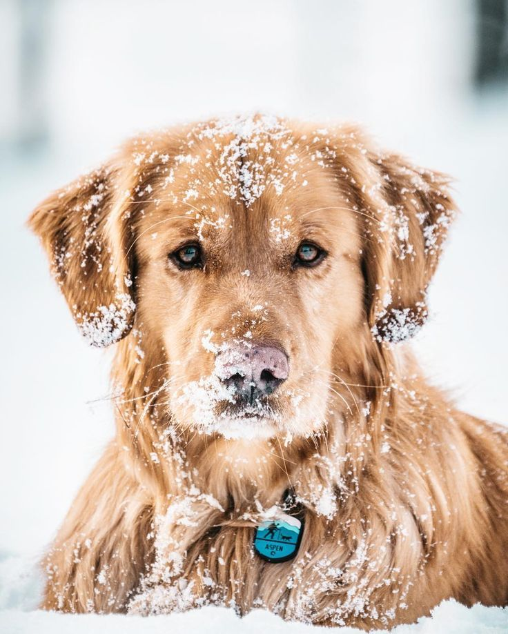 golden retrievers snow Dogs in 2020 Golden retriever