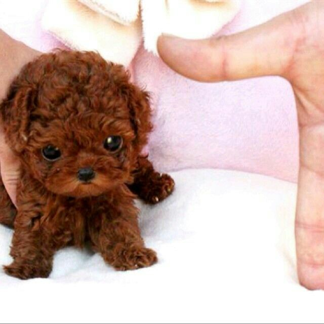 Little Dog Brown Cute Small Dogs Tea Cup Poodle Teacup Puppies