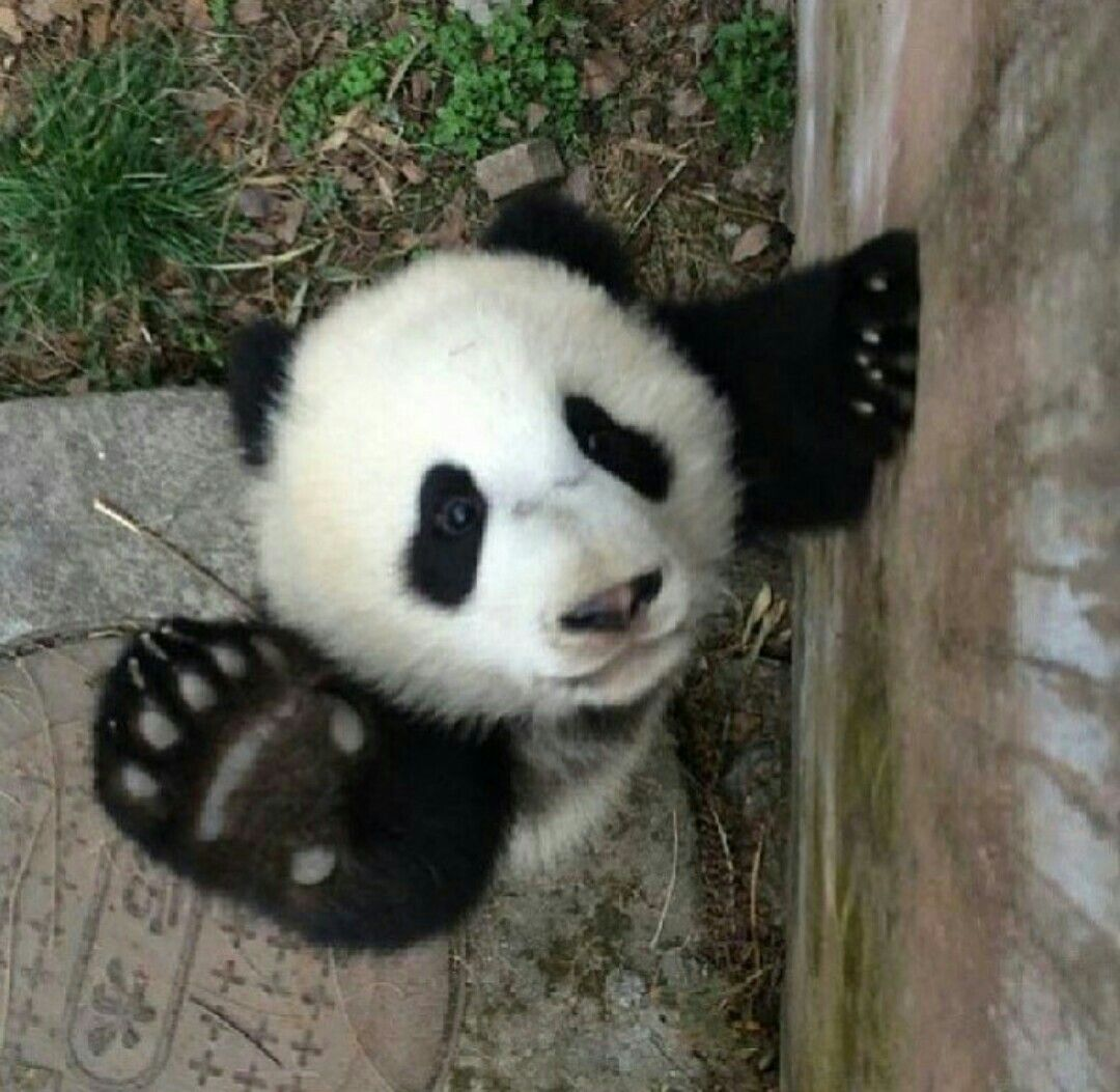 Pin by c siobhan ryan on cute and fluffy pinterest panda cat panda bearswall muralsadorable amipublicfo Image collections