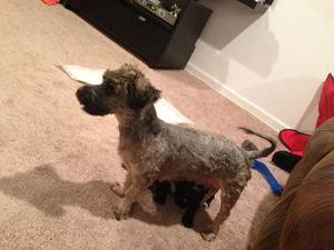 Lady Is An Adoptable Poodle Dog In Baltimore Md Hi I M Lady I