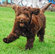 Brown Portuguese Water Dog Google Search Portugese Waterhond Honden Puppy