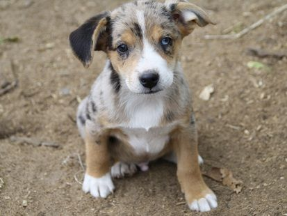Miniature Aussie/ Jack Russell Puppies - OMG, never saw ...