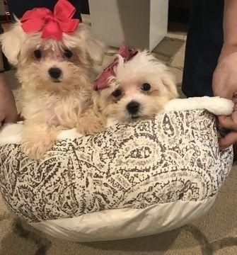 Maltese Puppy For Sale In Raleigh Nc Adn 53114 On Puppyfinder