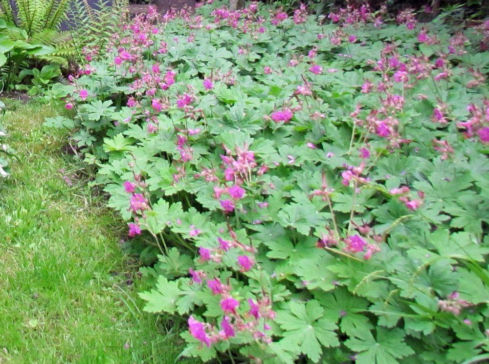 geranium macrorrhizum | Puutarha -kasvit | Pinterest | Hardy ...