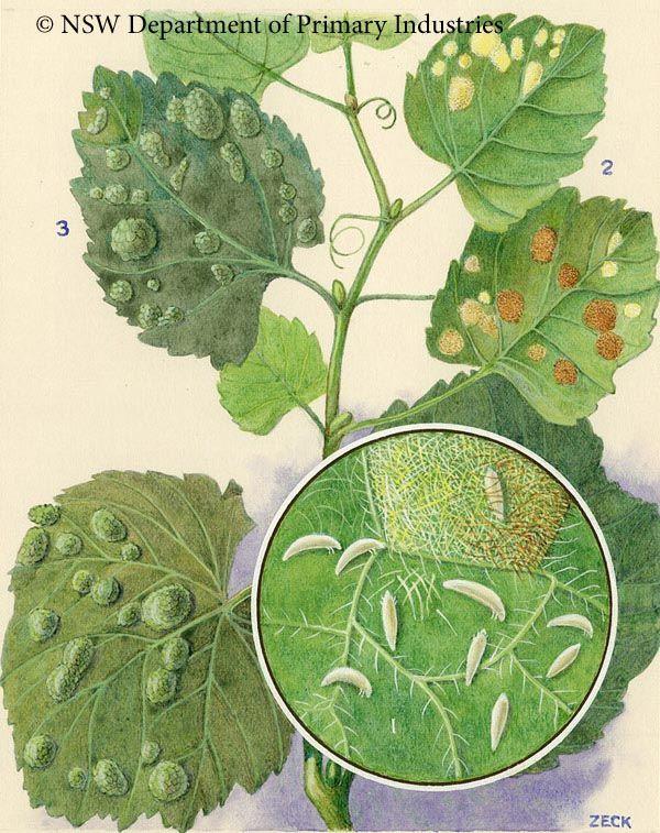 Grapeleafblistermite (Colomerus vitis) Pests that