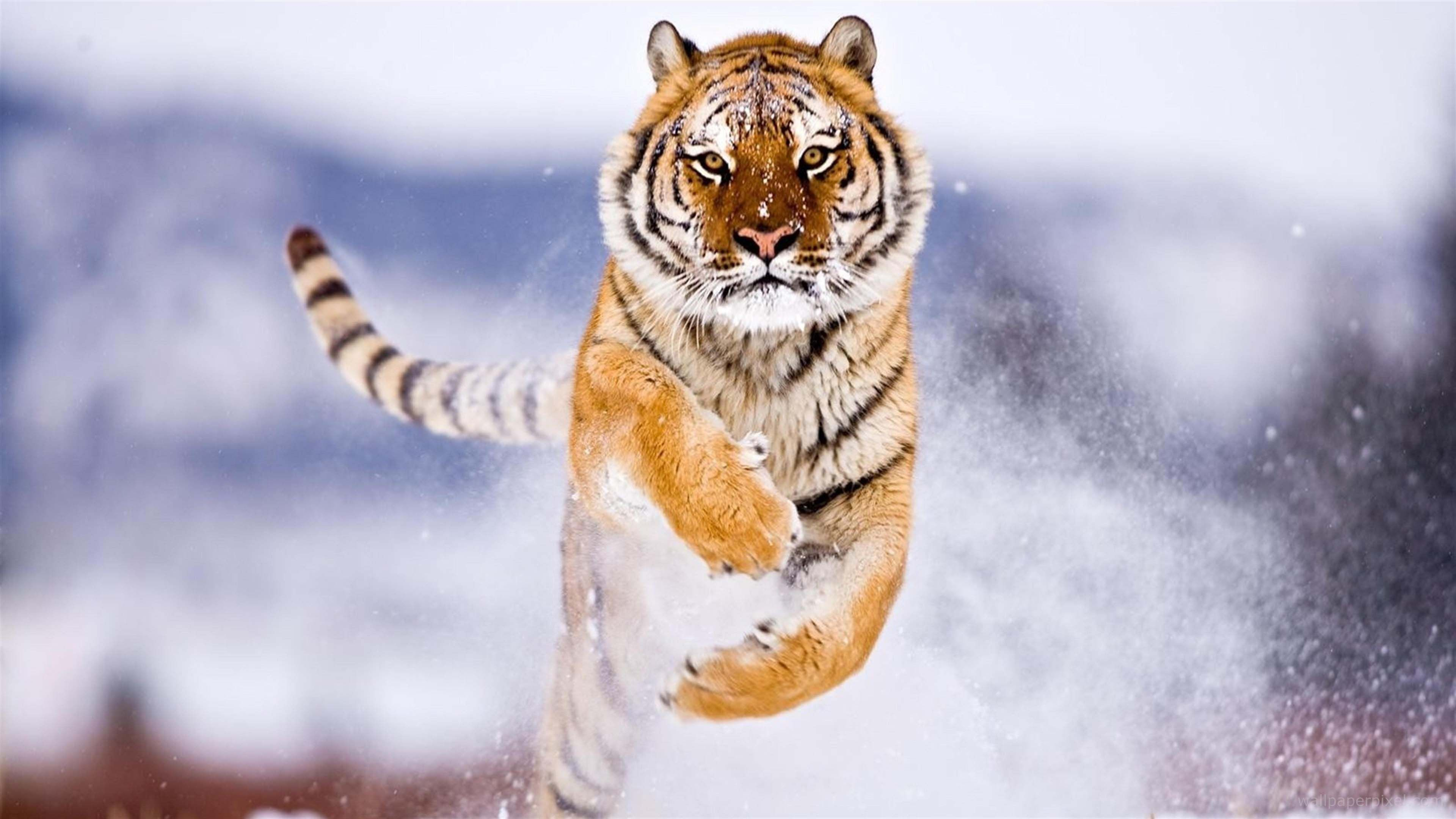 siberian tiger jumping on snow ultra hd wallpapers | animals
