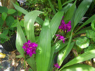 My Rustic Bajan Garden Crane Beach Barbados Ground Orchids Orchids Tropical Garden
