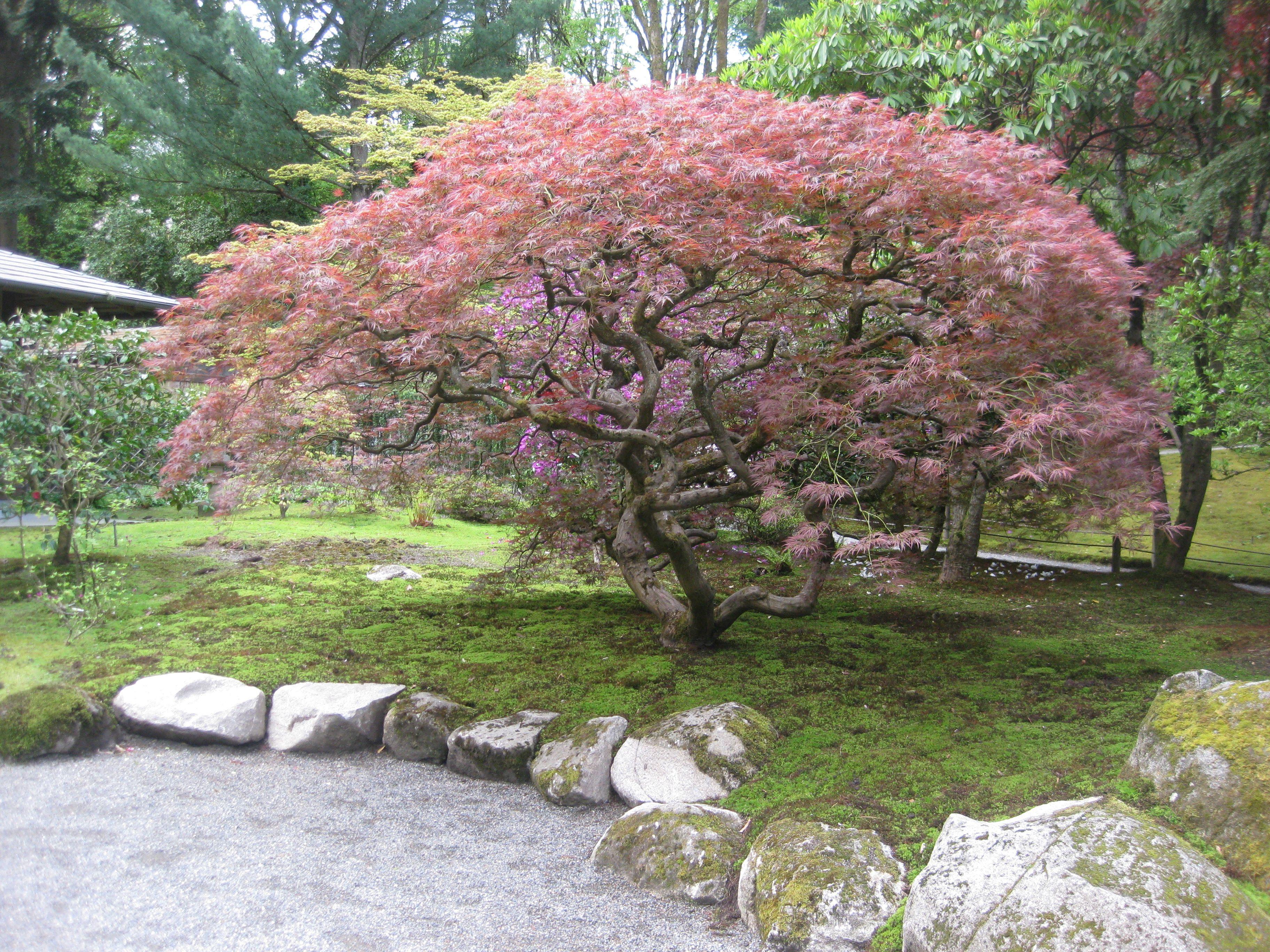 Acer Palmatum Var Dissectum Atropurpureum Japanese Lace Leaf